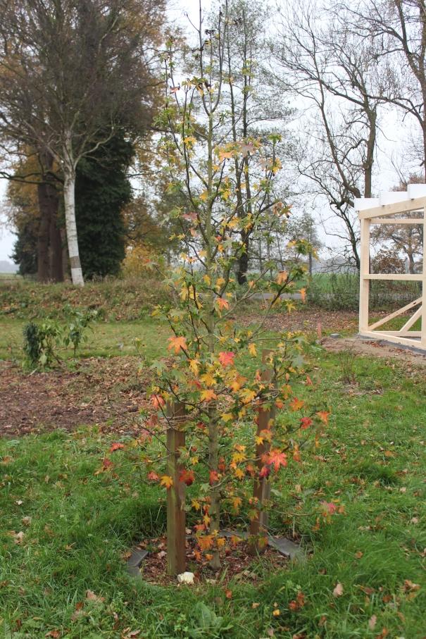 Endlich wird der Amberbaum bunt!